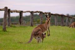 Moder och känguruunge känguru på Ipswich, Queensland Arkivbild
