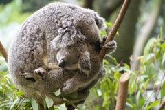 Moder och känguruunge koalakel Arkivbild