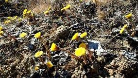 Moder och styvmor i blom Blommorna av v?xten visas i tidig v?r detaljer lager videofilmer