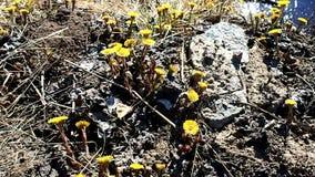 Moder och styvmor i blom Blommorna av v?xten visas i tidig v?r detaljer arkivfilmer