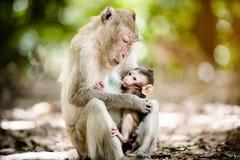 Moderapa med en behandla som ett barnapa Arkivfoton