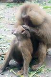Moderapababianen som vårdar och att bry sig henne, behandla som ett barn apan Arkivfoto