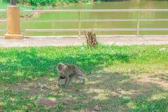 Moderapan med behandla som ett barn apan som går på gräset med kopieringsutrymme, tillfogar text Arkivfoton