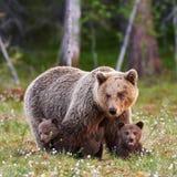Moderbrunbjörn och hennes gröngölingar Arkivfoto