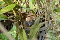 Moderfågel som ligger i redet Arkivbild
