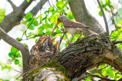 Moderfågelmatning behandla som ett barn fåglar i redet Arkivbild
