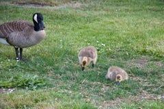 Modergåsen med två gässlingar på grönt gräs i parkerar royaltyfria bilder