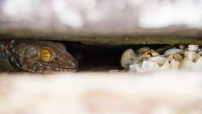 Modergeckon som bevakar ägg vaggar in, sprickor Royaltyfri Bild