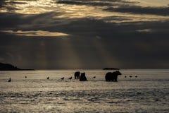Modergrisslybjörn och två gröngölingar i soluppgång Arkivbild