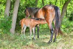 Moderhäst och litet föl Arkivfoton