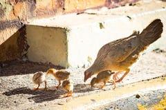 Moderhöna med hönor på den lösa gatan fotografering för bildbyråer