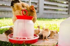 Moderhöna och små fågelungar Royaltyfri Fotografi