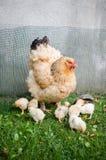 Moderhöna och små fågelungar Royaltyfria Bilder