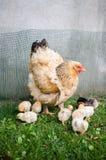 Moderhöna och små fågelungar Royaltyfri Bild
