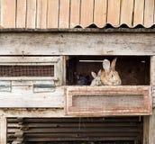 Moderkanin med nyfödda kaniner Arkivbild