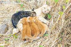 Moderkatt med unga kattungar Arkivbilder