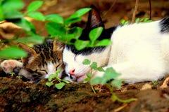 Moderkatt och kattunge som tillsammans sover arkivbilder