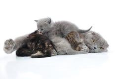 Moderkatten mjölkar matning henne av kattungar Fotografering för Bildbyråer