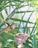 Moderkolibri som flyger över hennes rede Royaltyfria Bilder