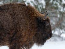 Moderliga Bison Close Up Vuxen lös europébrunt Bison Bison Bonasus In Winter Time Vuxen AurochsWisent, symbol av arkivbild