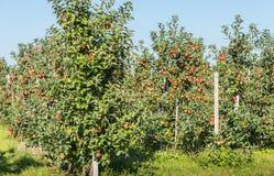 Modern äpplefruktträdgård med röda äpplen Arkivbild