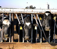 Modern agriculture photo with cows on farm Stock Images