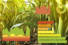 Agriculture. Ripe corn cobs in field and charts