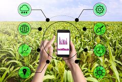 Modern agriculture. Woman with smartphone in corn field and icons