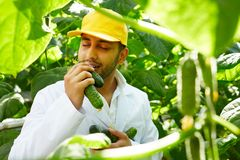 Appetizing cucumbers. Modern agroengineer in uniform smelling appetizing cucumbers among green vegetation Royalty Free Stock Photo