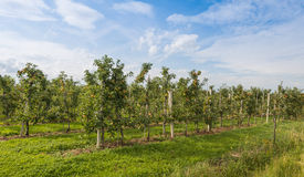 Modern apple orchard with low espaliers Stock Photography