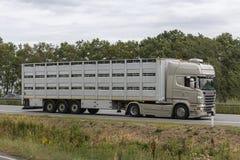 Modern boskapbiltransport på dess väg till slakthuset Arkivfoton