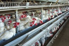 Free Modern Chicken Farm For The Breeding Of White Chickens And Eggs, Multi-level Conveyor, Indoor, Copy Space Stock Photos - 134437903