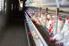 Free Modern Chicken Farm For The Production Of Chickens And The Production Of Eggs That Move Along The Conveyor, Copy Space Royalty Free Stock Photos - 134437828