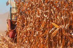 Modern combine harvester is harvesting corn crops. Modern combine harvester is harvesting cultivated ripe corn crops in field royalty free stock photography