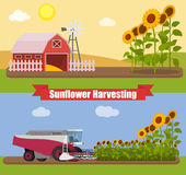 Modern combine harvester tractor working a sunflowers field. Agriculture machinery. Agriculture harvest sunflower seeds. Farm rural landscape, vector Stock Images