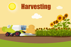 Modern combine harvester tractor working a sunflowers field. Agriculture machinery. Agriculture harvest sunflower seeds. Farm rural landscape, vector Stock Photos
