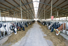 Modern cow stable Royalty Free Stock Photos