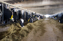 Modern cow stable Stock Images