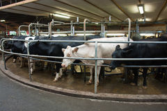 Modern creamery milking parlour Stock Photo