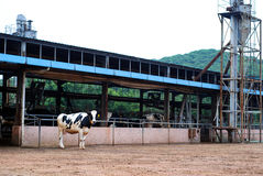 Modern dairy farm. A dairy cattle at the modern dairy farm Stock Photography