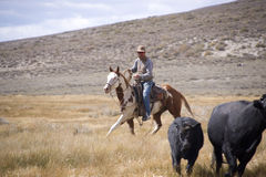 Modern Day Wrangler Stock Photography