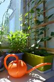 Modern design of balcony garden with green container with thunbergia, blue flowerpot with osteospermum and orange watering can. Modern design of balcony garden royalty free stock image