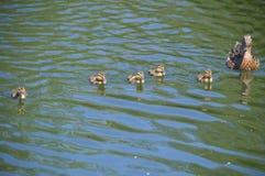 Modern duckar ut med ankungar Arkivfoto