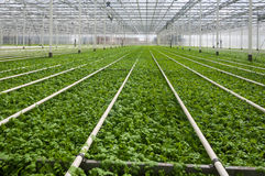 Modern Dutch greenhouse complex with small plants Stock Photography