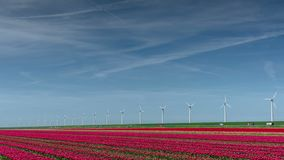 Modern electrical windmills near huge red tulip field in Holland .Ecological engineering . Environmentally friendly. Solutions. Beauty of Holland. Power of stock video