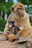 Modern för den Barbary macaqueapan med henne behandla som ett barn royaltyfria foton