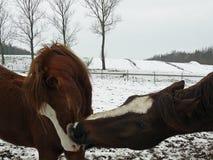 Modern för hästvinterkyssen kysser henne för att behandla som ett barn arkivbild
