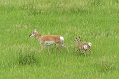 Modern för Pronghorn antilop med behandla som ett barn arkivbilder