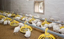 Modern factory for poultry meat. Poultry farm Stock Photos