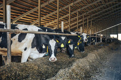 Modern farm cowshed with cows eating hay royalty free stock photography